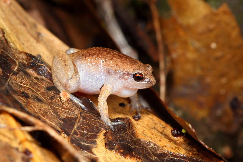Austrochaperina gracilipes (Slender Frog) Found 'peep'-ing in the rain in a bamboo grove at Iron Range NP, Cape York, Qld