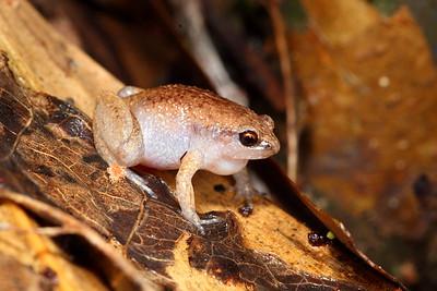 Austrochaperina gracilipes (Slender Frog)