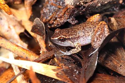 Austrochaperina pluvialis (Rain Frog)
