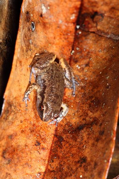 Austrochaperina pluvialis (Rain Frog), Daintree