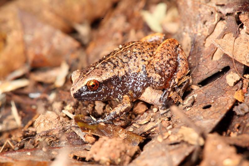 Austrochaperina pluvialis (Rain Frog) Found under a log in the Daintree NP, Queensland