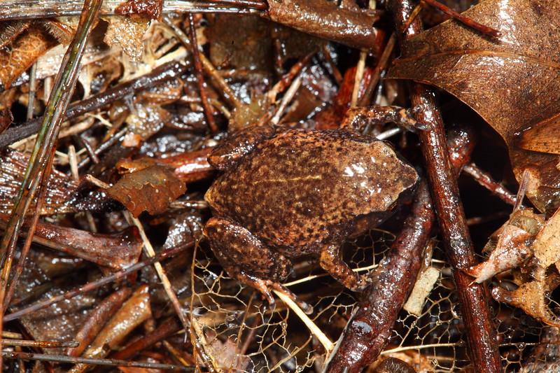 Austrochaperina robusta (Robust Frog), Atherton Tablelands