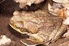 Large adult female cane toad, Kununurra.