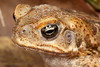 Young male fecane toad, Kununurra