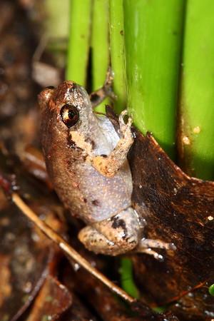 Cophixalus exiguus (Scanty Frog)