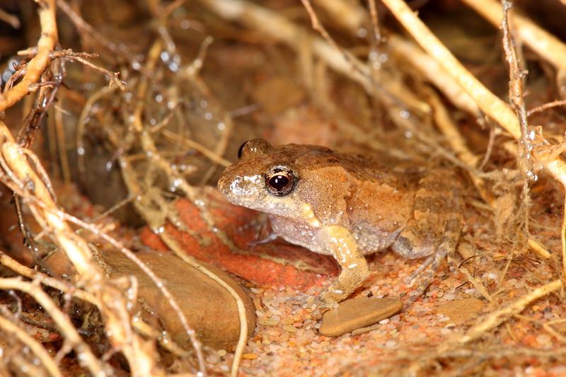 Crinia bilingua (Bilingual Froglet), found in Mornington Conservation reserve, Kimberley, Western Australia