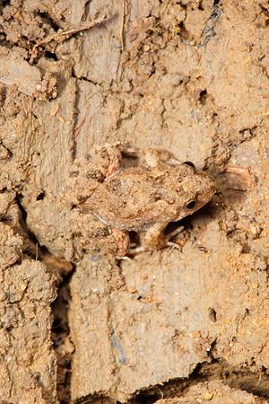 Crinia deserticola (Desert Froglet)