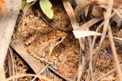 Crinia fimbriata (Kimberley Froglet)