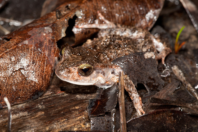 Crinia georgiana, (Quacking Frog)