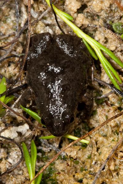 Crinia insignifera frogs calling in the rain at Rockingham Lakes Regional Park