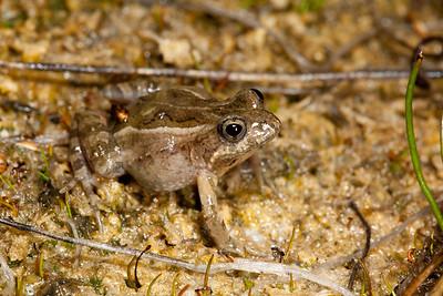 Crinia insignifera (Western Sign-bearing Froglet)
