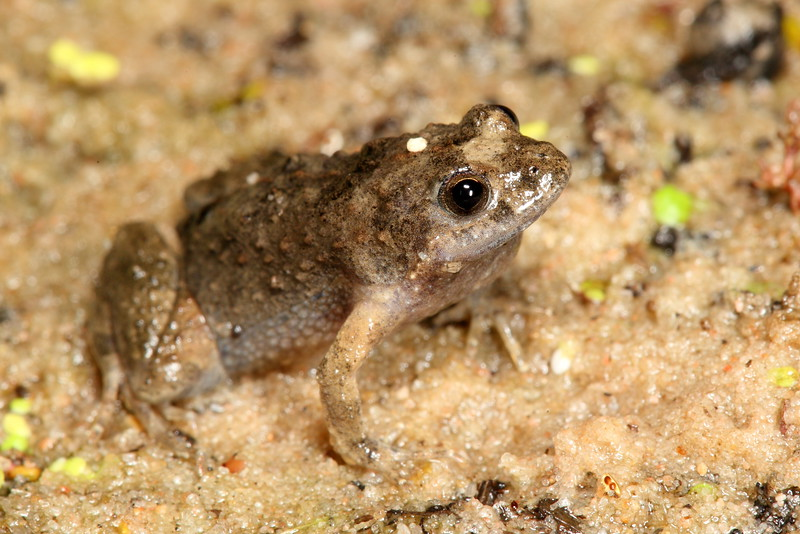 Crinia parinsignifera (Eastern Sign-bearing Froglet), found at Hattah Lakes, call sounded: eeek eek.....