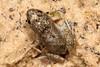 Crinia parinsignifera (Eastern Sign-bearing Froglet) found at Hattah Lakes, call sounded: eeek eek.....