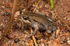 Crinia parinsignifera (Eastern Sign-bearing Froglet) found in a creek in the foothills of Kosciusco National Park, NSW.
