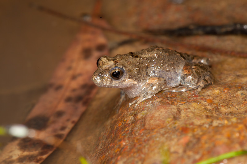Crinia parinsignifera (Eastern Sign-bearing Froglet) found in a creek in the foothills of Kosciusco National Park, NSW