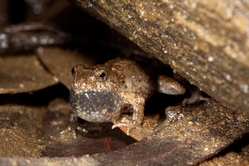 Crinia pseudinsignifera (Bleating Froglet), found in Lake Leschenaultia, Western Australia