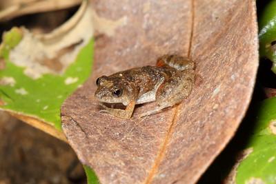 Crinia remota (Remote Froglet)