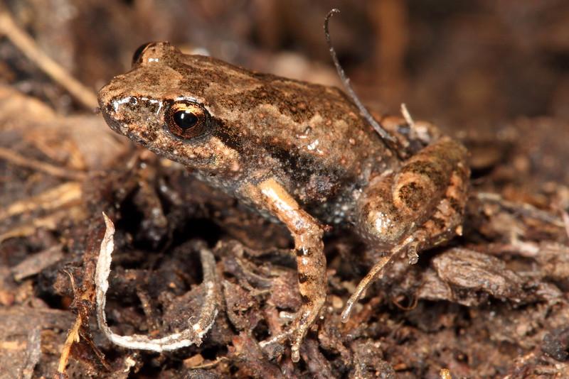 Crinia riparia (Streambank Froglet)
