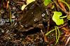 Crinia signifera (Common Froglet). Found on the way to Kosciuszko National Park.