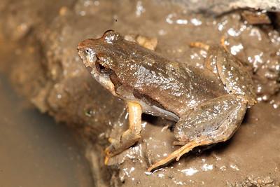 Crinia signifera (Common Froglet)
