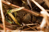 Crinia sloanei (Sloane's Froglet), found in very wet weather outside of Wangaratta.