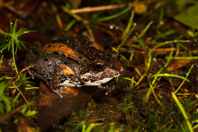 Crinia tasmaniensis (Tasmanian Froglet)