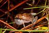 Crinia tinnula (Tinkling Froglet)