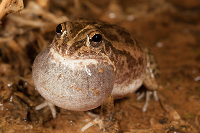 Cyclorana cultripes (Knife-Footed Frog)