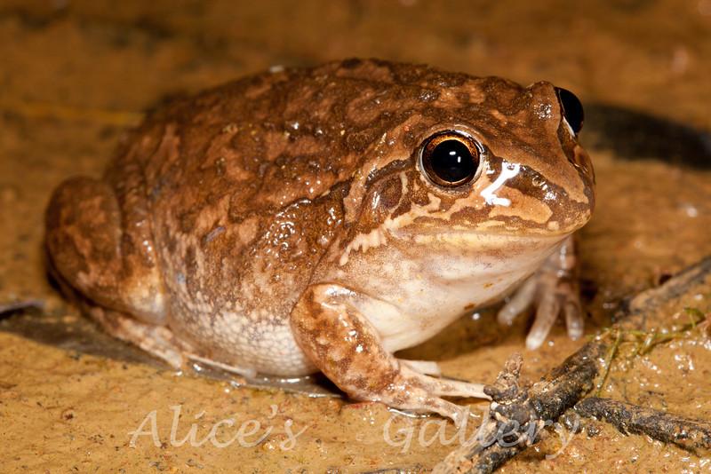 Found in shallow pool in the Gascoyne River flood plain, E of Kalbarri, WA