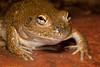 Cyclorana platycephala (Water-holding Frog)