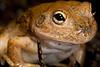 Cyclorana platycephala (Water-holding Frog), Kalbarri National Park, Western Australia