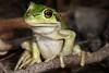 Litoria moorei, Motorbike Frog