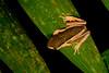 Phyllomedusa palliata, Manu National Park in Peru