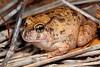 Opisthodon ornatus, Ornate Burrowing Frog.