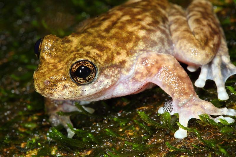Litoria nannotis (Torrent Tree Frog), Crystal Falls, Paluma, Qld