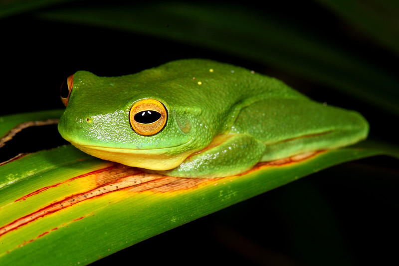 Litoria gracilenta, Dainty Tree Frog. Before the dirty look, Iron Range NP, Cape York