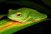 Litoria gracilenta, Dainty Tree Frog. Before the dirty look, Iron Range NP, Cape York