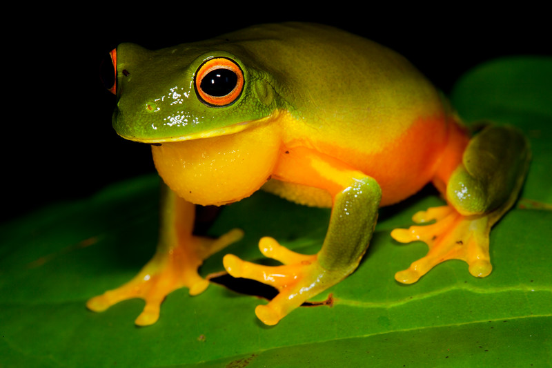 Litoria xanthomera (Orange-thighed Tree Frog). Found at Jourama Falls, Paluma Range National Park, in the pouring rain ...of coarse!<br /> Qld