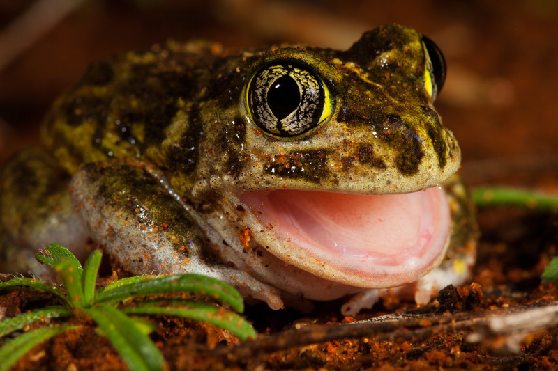Neobatrachus pictus, (painted burrowing frog), found in Gawler Ranges National Park.