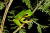 Litoria barringtonensis found in Cotton-Bimbang National park next to a mountain creek