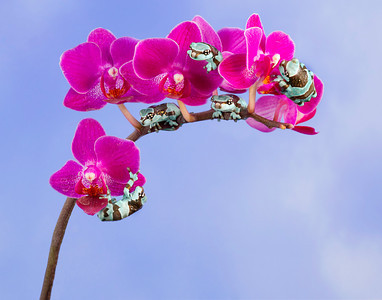 Milk Frogs on Orchid
