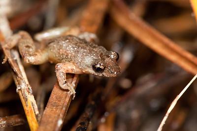 Geocrinia leai (Lea's Frog)