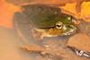 Lechriodus fletcheri, (Fletcher's Frog), Found in Lamington National Park, Qld