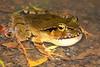 Lechriodus fletcheri, (Fletcher's Frog). Found in Lamington National Park, Qld