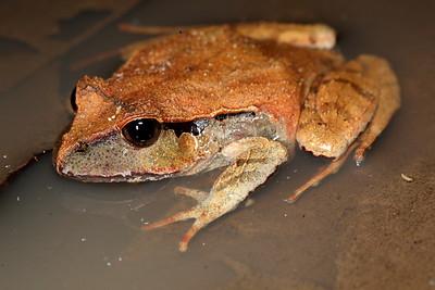 Lechriodus fletcheri, (Fletcher's Frog)