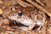 Limnodynastes convexiusculus, (Marbled Frog). Found in Litchfield NP, NT