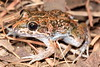 Limnodynastes convexiusculus, (Marbled Frog), found at Surveyors Pool, Mitchell Plateay, WA