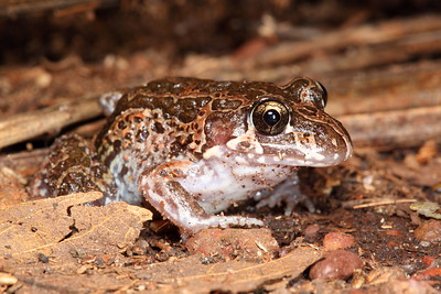 Limnodynastes convexiusculus, (Marbled Frog)
