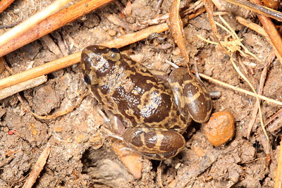 Limnodynastes depressus (Flat-headed Frog)