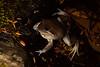 Lymnodynastes dumerilii grayi found in Oxley Wild Rivers National Park, NSW